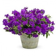 Flower Seeds : Verbena Mix Perennial Herbaceous Flowering Plants Blue Flower Seed For Shade B- Easily Blooming Flowers (14 Packets) Garden Plant Seeds By Creative Farmer