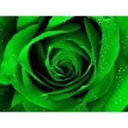 Rose Flower seed - Green Rose seeds - Pack of 20 seeds