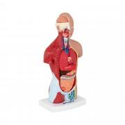Torso Model - separable into 15 pieces - 26 cm tall
