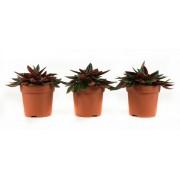 Plant Pannenkoekenplant rosso (per 3 stuks)