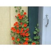 Flower Seeds : Nasturtium Climber Flower Seeds Plant Flowers Climber Flowering Plants- Green Plants (9 Packets) Garden Plant Seeds By Creative Farmer