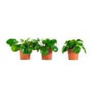 Plant Pannenkoekenplant (per 3 stuks)