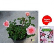 ES Pink English Rose Plant with Freebies with Indica Hybrid Seeds
