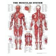 Anatomiplansch - Muskler (The muscular system)