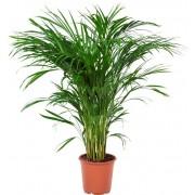 Plant Goudpalm