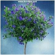 Solanum rantonneti - Hořcový stromek