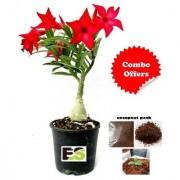 Red Rose Adenium Live Plant Best Decorative Plant With Freebie Coco Peat