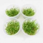 In Vitro Cup Waterplanten Echinodorus Tenellus 4 Cups