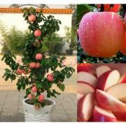 Seeds-Dwarf Fuji Apple Tree Indoor Or Outdoor! Sweet Fruits .