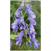 Aconitum carmichaelii /wilsonii/ - Oměj