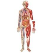 Set magnetic educativ pentru copii- Macheta corpului uman - sistemul osos si muscular