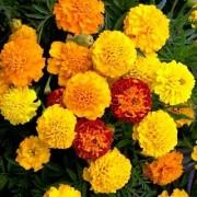 Orange Marigold Flower M Flowers Seeds