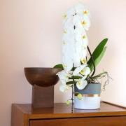 Interflora Bouquet Phalaenopsis Formidablo + cache pot