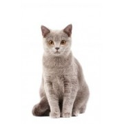 Tapet autocolant -Pisica britanica 2 - 225X150cm
