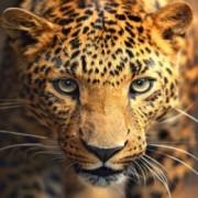Portret van het Luipaard