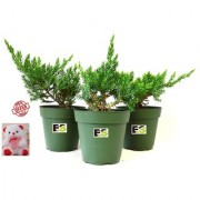 JONIPAR COMBO OF 3 PEICE NATURAL PLANT WITH FREE COMBO GIFT - 6 inchTEDDYBEAR