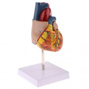 C2K Human Anatomical Heart Model, Life Size, Detachable 2 Parts, Organ Model Anatomy School Teaching Learning Tools