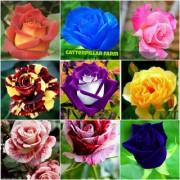 Mixed Rose Flower 20 Seeds Home Garden Flower Seeds Rarest Variety