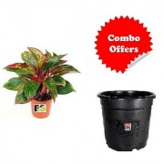 Dracaena Red Plant with Combo