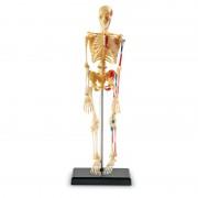 Sablon corp uman Schelet, 41 piese din plastic, 23 cm, 8 - 12 ani