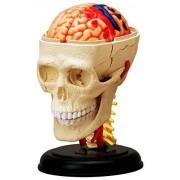 4D Vision Human Anatomy - Cranial Skull Model