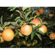 Măr Goldrush