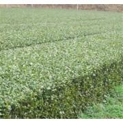 有機栽培(JAS認証) 下郷一番茶 120g2本