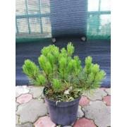 """Pinus Mugo """"Pumilio"""" (20 cm)"""