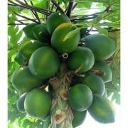 Puspita Nursery Rare Exotic Tropical Thailand Dwarf Honey Papaya Fruit Live Plant