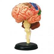 4D Vision Human Anatomy - Brain Anatomy Model