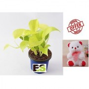 ES GOLDEN MONEY PLANT LIVE NATURAL WITH FREE COMBO GIFT - 6 inchTEDDYBEAR