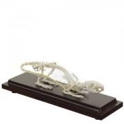 Szczur - szkielet