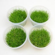 In Vitro Cup Eleocharis Acicularis Mini - 8 Cups