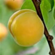 あんず果樹苗木 1本(JA果樹苗祭り)