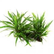 TROPICA Microsorum pteropus živá rastlina na XL koreni