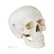 Skull Model - white