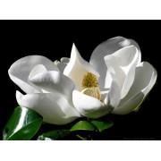 Galissoniere örökzöld liliomfa / Magnolia grandiflora 'Galissoniere' - 30-40