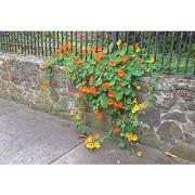"Flower Seeds : Nasturtium Indian Cress Seeds ""Troika Orange"" Heavy Blooming Flower Garden Seeds Of Flowers Hanging Basket Seeds- Gardening Plant Seeds (7 Packets) Garden Plant Seeds By Creative Farmer"
