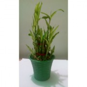 3 Layer Lucky bamboo Plant With Green Bucket Container