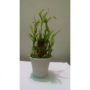 3 Layer Lucky bamboo Plant With white Bucket Container
