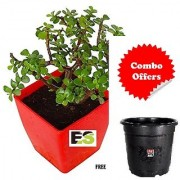 Jade Plant Natural Rolling With Freebie