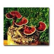 The Reishi Mushroom Garden Patch- Indoor Mushroom Growing Kit - Grow Edible Mushrooms & Fungi. Easy & Fun Mush...