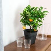 Interflora Calamondin + cache pot