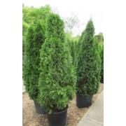 Smaragd tuja / Thuja occidentalis 'Smaragd' - konténeres - 100-125