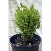 Sövénybukszus (sövénypuszpáng) / Buxus sempervirens 'Suffruticosa' - 15-20