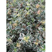 Diervilla Diervilla sessilifolia 'Cool Splash'