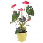 Planta de Anthurium - Flores a Domicilio