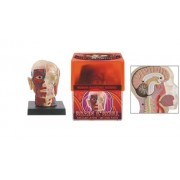 Anatomically Correct Brain & Skull Model With Detailed Layers & See Thru Parts! (Age 7+)