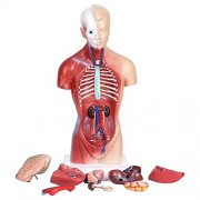 Zuiniubi Human Torso Body Anatomy Model Heart Brain Skeleton Medical School Educational 11