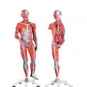 Figura com Músculos de Duplo Sexo, desmontable em 45 peças